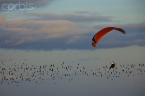 France, Eure, Vesly, flying with Northern Lapwing birds (Vanellus vanellus, paramotor landing field belonging to Yves Helary (aerial view