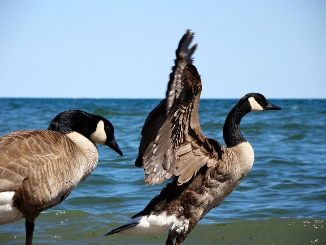 geese-2470_640