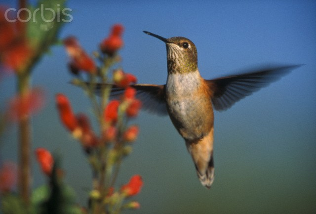 Rufous Hummingbird (Selasphorus rufus) feeding on the nectar of a Desert Figwort (Scrophularia desertorum), New Mexico