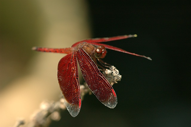 dragonfly-79122_640